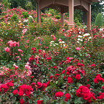 At the Rose Test Garden in Portlan